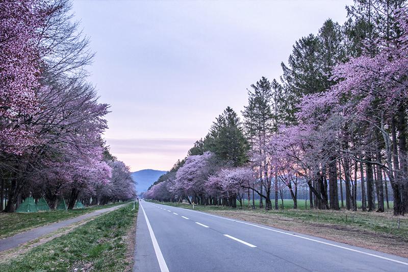 Sakura at 20-ken roads, Hokkaido
