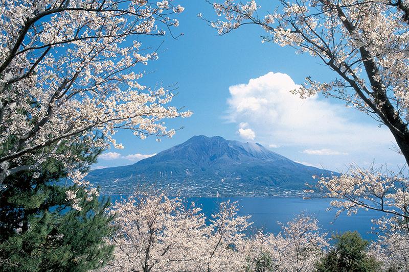 Sakura in Kagoshima - cherry blossoms in Kagoshima, Kyushu