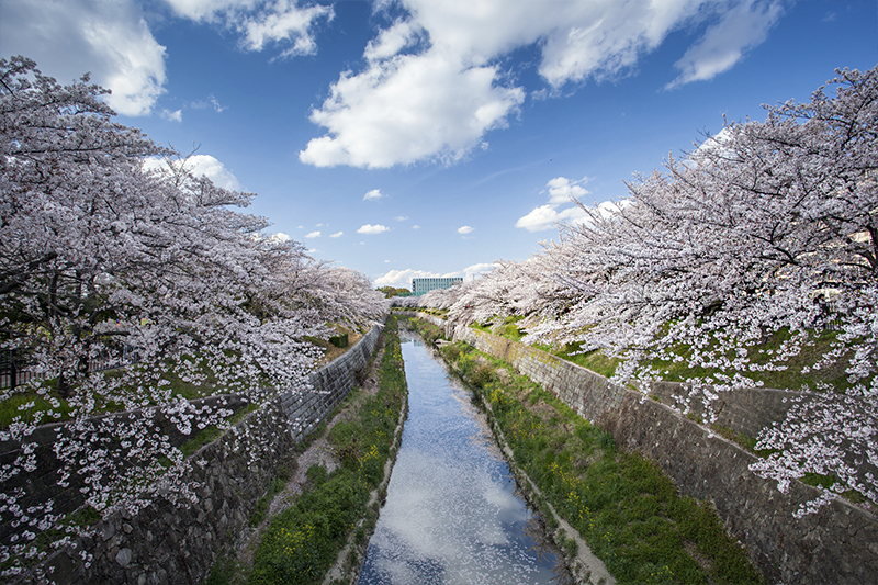 Cherry blossoms line the riverside in Nagoya, Japan