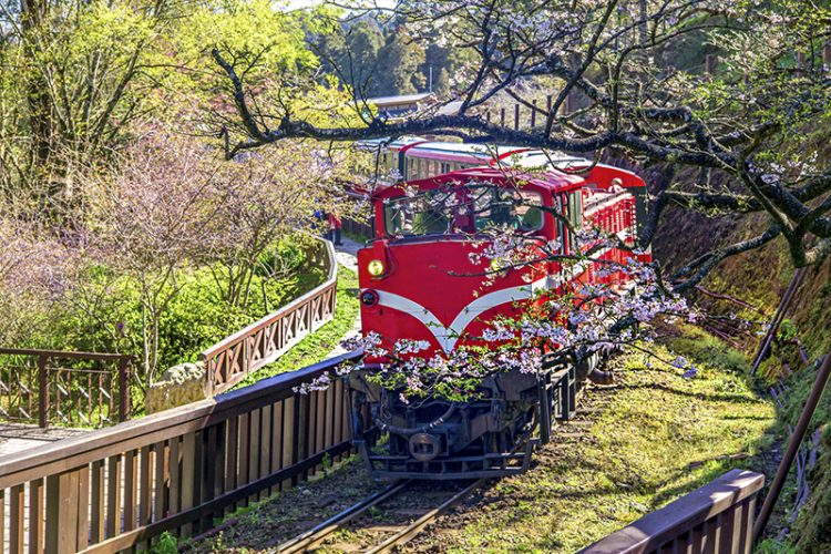 Train passes through the cherry blossoms at Alishan National Scenic Area, Taiwan